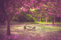 De lente Cherry Trees Stock Afbeelding
