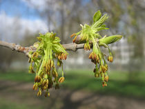 De lente. De bloesem van de esdoorn Stock Foto's