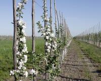 De lente in de boomgaard Royalty-vrije Stock Afbeeldingen