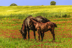 de lente De lentelandschap: merrie met veulen Italië (Apulia) royalty-vrije stock afbeeldingen
