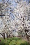 De lente in de tuin - het bloeien fruitbomen Stock Afbeelding