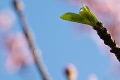 De lente dichte omhooggaand van de mooie groene uitloper van de nectarineboom in blauwe hemel Royalty-vrije Stock Afbeelding