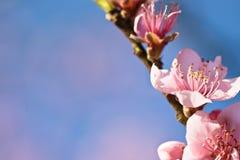 De lente dichte omhooggaand van de mooie roze bloeiende bloem van de nectarineboom met bloemblaadjes en groene uitloper Royalty-vrije Stock Foto