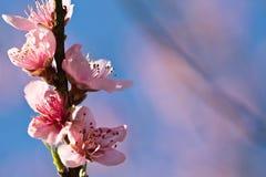 De lente dichte omhooggaand van de mooie roze bloeiende bloem van de nectarineboom met bloemblaadjes en groene uitloper Stock Foto's