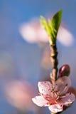 De lente dichte omhooggaand van de mooie roze bloeiende bloem van de nectarineboom met bloemblaadjes en groene uitloper Stock Foto
