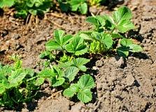 De lente die aardbeien planten royalty-vrije stock afbeeldingen