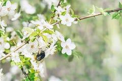 De lente die Apple-boom en de Bumble bij bloeien stock afbeelding