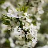 De lente die bloeien: takken van bloeiende appel of kers in het park Witte bloemen van een appelboom of een kers op a stock afbeeldingen