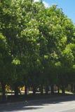 De lente die de bloemen van de kastanjeboom tot bloei komen Stock Fotografie