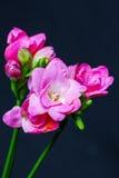 De lente die roze bloemen op zwarte achtergrond bloeien Stock Foto's