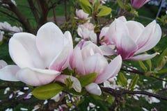 De lente die van magnoliabloemen in Praag bloeien stock afbeelding