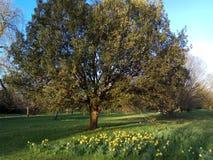 De lente is in dit schilderachtige beeld van een rijpe eiken boom met gele narcissen in de voorgrond opgesprongen Stock Afbeelding