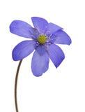 De lente donkerblauwe enige bloem op wit Stock Afbeeldingen