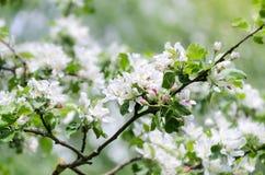 De lente in een boomgaard, mooie bloeiende appelbomen in de lentepa Stock Afbeelding