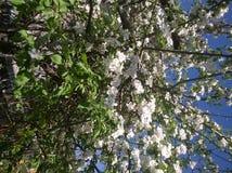 De lente en appelboom in bloei stock afbeeldingen