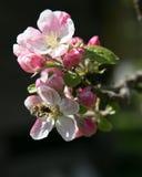 De lente en bijen Royalty-vrije Stock Foto
