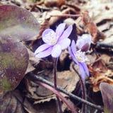 De lente first-time bloemen Stock Afbeeldingen