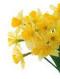 De lente Flowers.Daffodil royalty-vrije stock foto's