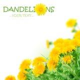 De lente Flowers.Dandelions Stock Foto's