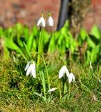 De lente Galanthus Royalty-vrije Stock Foto's