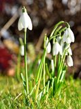 De lente Galanthus Stock Foto's