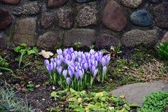 De lente gekleurde krokussen Stock Foto's