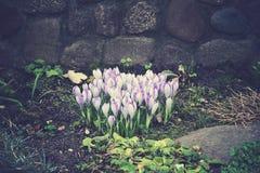 De lente gekleurde krokussen Royalty-vrije Stock Afbeelding