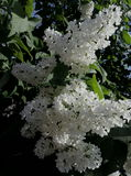 De lente is gekomen De sering bloeide Royalty-vrije Stock Afbeelding