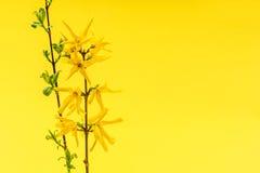 De lente gele achtergrond met forsythiabloemen Stock Afbeeldingen