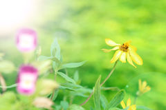 De lente gele bloemen - Anemoon ranunculoides Stock Foto