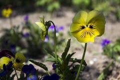 De lente gele bloemen pansies in de heldere tuin, blauw weinig stock afbeelding