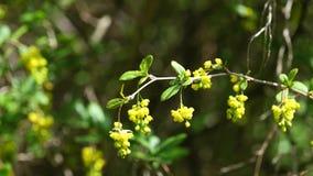 De lente gele bloemen van Koreaanse Berberis in milde wind, 4K stock videobeelden