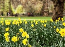 De lente gele gele narcissen in het park van Heilige James, Groot Londen, Stock Afbeelding