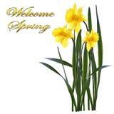 De lente gele narcissen op een witte achtergrond royalty-vrije illustratie