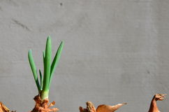 De lente groen bieslook Stock Foto