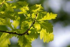 De lente groen eiken gebladerte stock foto's