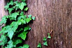 De lente groene klimop op de boom Stock Foto's
