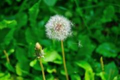 De lente groene paardebloem in de de aardochtend van het wind verspreidende zaad stock foto's