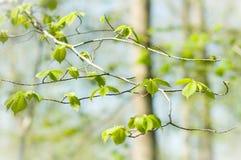 De lente Hazel doorbladert Stock Fotografie