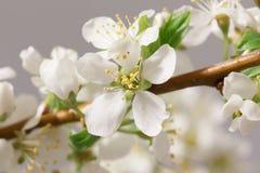 De lente het bloeien Stock Afbeelding