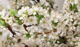 De lente het bloeien Stock Foto's