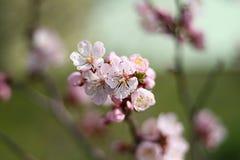 De lente het bloeien Stock Afbeeldingen