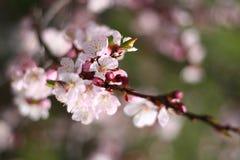 De lente het bloeien Royalty-vrije Stock Afbeelding