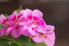 De lente het bloeien roze geranium gefotografeerd close-up stock afbeelding
