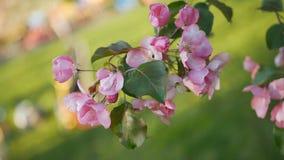 De lente het bloeien van bomen in de tuin stock video