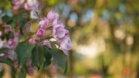 De lente het bloeien van bomen in de tuin stock footage