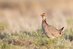 De lente het Een hoge vlucht nemen van Lesser Prairie Chicken Stock Fotografie