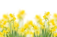 De lente het groeien gele narcissen Royalty-vrije Stock Afbeeldingen