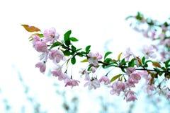 De lente, het landschap van het kersenpark Stock Afbeeldingen