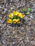 De lente in het pijnboomhout Stock Afbeelding